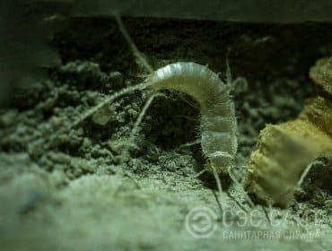Уничтожение чешуйниц. Чешуйница под полом