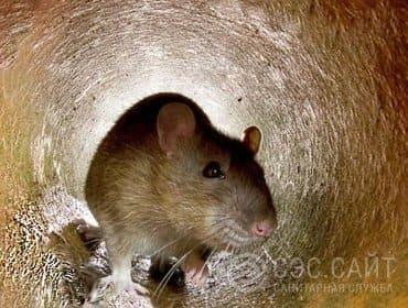 Дератизация крыс в СПб