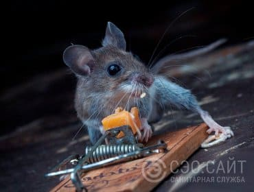 Фото мыши рядом с мышеловкой
