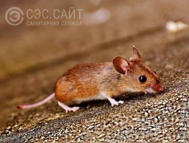 Фото мыши ползущей по земле
