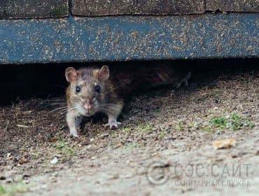 Фото крысы под строением