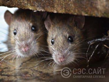 Фото крыс крупным планом