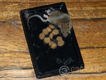 Фото крысы в клеевой ловушке