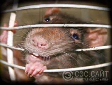 Причины уничтожения крыс. Большие зубы и агрессивность