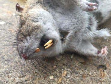 Причины уничтожения крыс. Переносчик паразитов