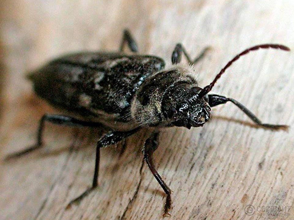 фото и название жуков древоточцев