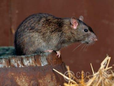 Информация про крыс - подробная статья