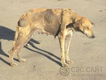 Собака зараженная бешенством