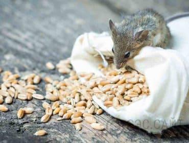 Мышь портит зерно