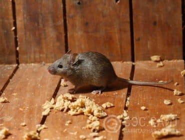 Мышь в крошках хлеба
