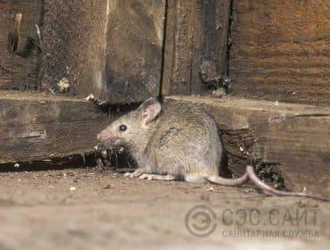 Мышь домовая у стены