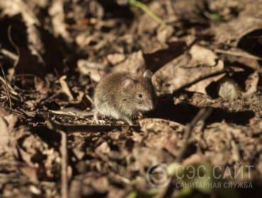 Мышь домовая в листьях