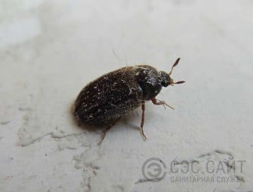 Взрослый жук кожеед