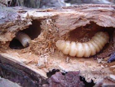 Личинка жука усача